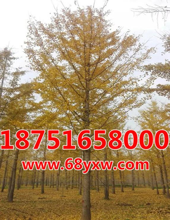 银杏树25公分