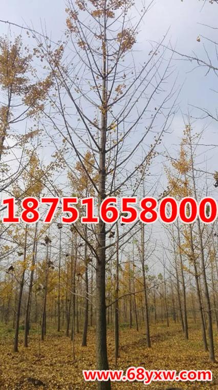 银杏树20公分